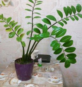 Змеекулькас (долларовое дерево)