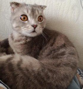 Шотландский кот(вислоухий)
