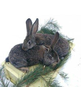 """Кролики породы """"Бельгийский великан"""" (Фландр)"""
