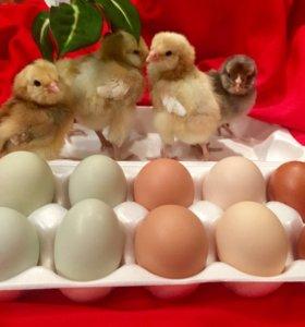 Цыплята. Инкубационное яйцо. Порода Амераукана.