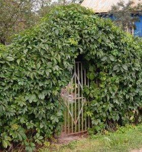 Изгородь из девичего винограда