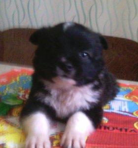 Щенок мальчик 1,5 месяца