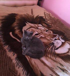 Ищу кота для вязки!!!