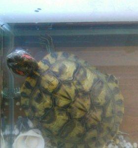Черепаха красноухая. Отдам в хорошие руки.