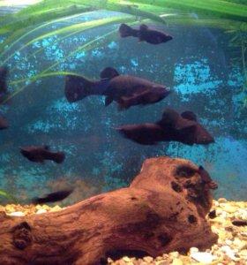 Рыбки моллинезия