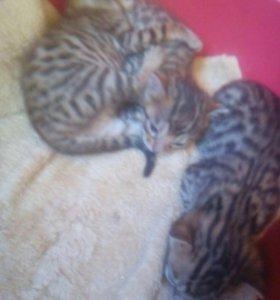 Продаём бенгальских котят