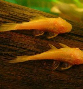Золотой анциструс Ancistrus Albino Gold