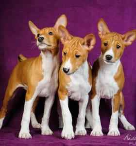 Высокопородные щенки басенджи в серьезные руки