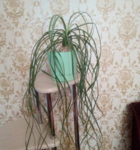 Нолина (бутылочное дерево)
