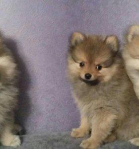 Продаются щенки померанского шпица