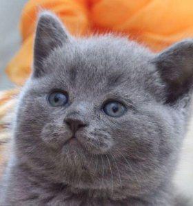 Британские плюшевые  котята британцы