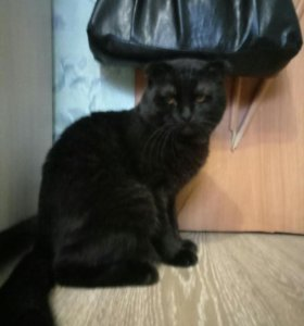 Вязка (вислоухий кот)
