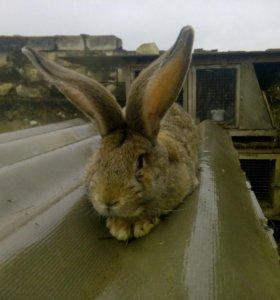 Крольчата ризена агути