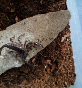 Черный Азиатский скорпион