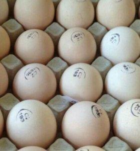 Инкубацтонное яйцо