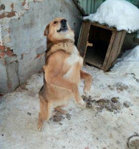 Собака гончий