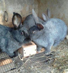 Кролики  8 мес-1,5 года