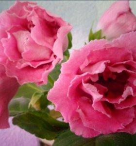 Глоксиния Розовое Счастье (детка)