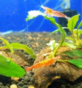 Аквариумные рыбки карпы кометы креветки растения
