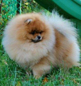 Померанского шпица щенок оранжевый