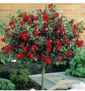 Саженцы кустарников и деревьев ягода годжи