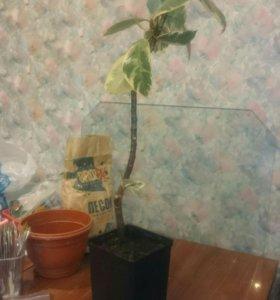 Фикус комнатное растение