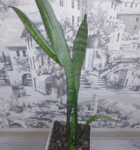Сансевьерия и кактусы