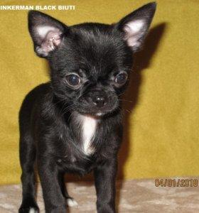 Чихуахуа мальчик редкого черного окраса