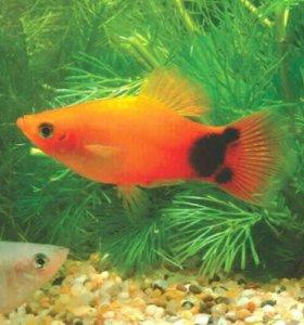Пецилии (Аквариумные рыбки)