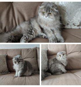 Вязка кошки хайленд-фолд