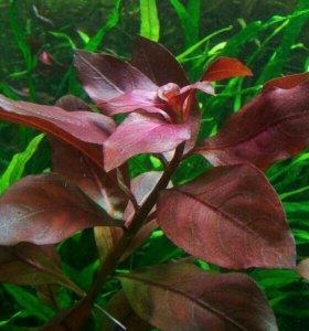 Людвигия рубин (ползучая) (аквариумное растение)