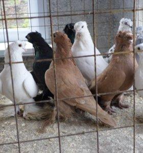 голуби узбеки