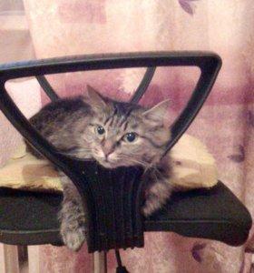 Кошка в добрые руки, спокойная, стерилизованная.