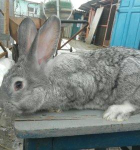 Самцы Кролика