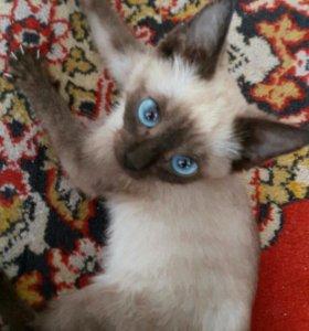 Тайский котёнок