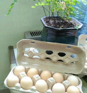 Инкубационное яйцо несушек, цыплята