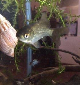 Карасики аквариумные