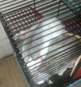 Крыска белая с серым.