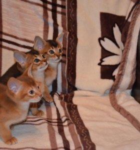 Настоящие абиссинские котята