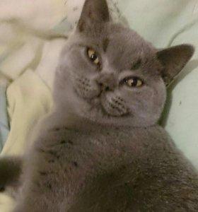 Британский плюшевый котенок девочка голубого окрас
