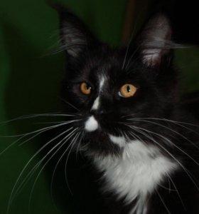 Ринальдо кот Мейн-кун