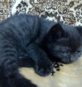 Шотланский котёнок