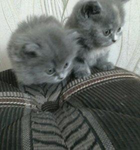 Продам котят породы Хайленд страйт. На фото мама.
