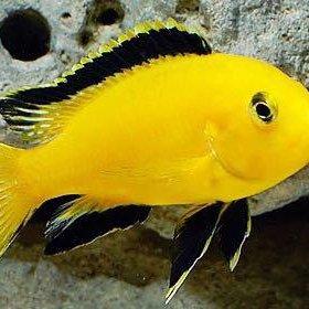 Рыбка Лабидохромис ёллоу