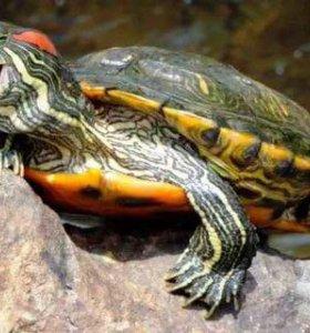 Черепаха красноухая. Возраст 2 года.