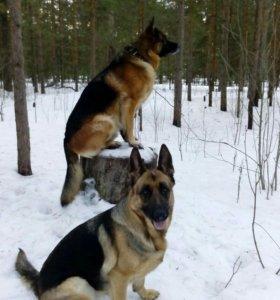 Чистокровные щенки немецкой овчарки