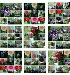 Цветы глоксиньи