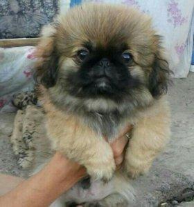 SOS! !!! Продам щенков чистокровных пород пекинес.