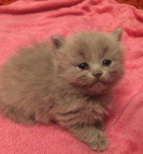 Продаются британские котята .