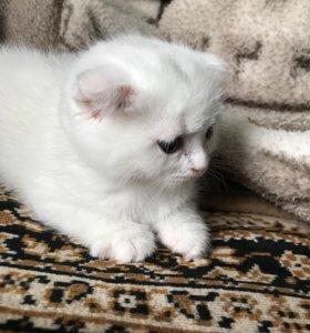 Котёнок вислоухий